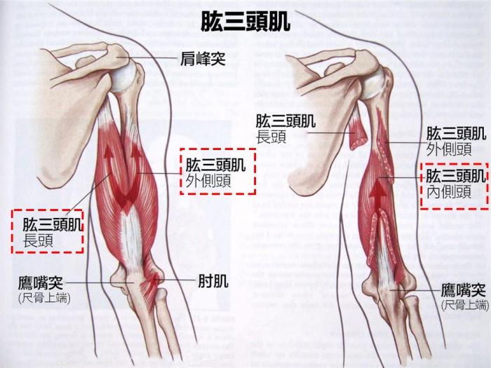 肱三頭肌解剖2_17021121214671583