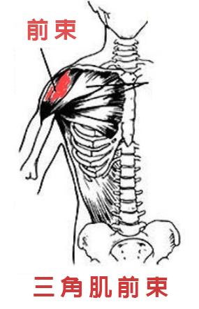 Xuan瘋運動教室/盔甲線/三角肌訓練/肩膀訓練/三角肌解剖圖