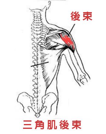 三角肌後束/Xuan瘋運動教室/盔甲線/三角肌訓練/肩膀訓練/三角肌解剖圖