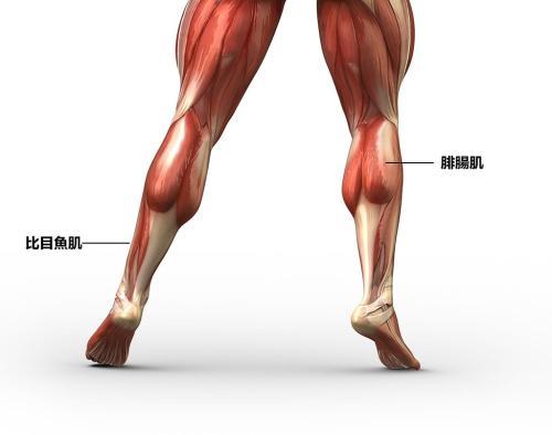 小腿肌肉圖